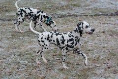 2 молодых красивых далматинских собаки бежать outdoors в зиме Стоковые Фото
