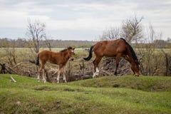 2 молодых лошади пася в выгоне стоковые изображения rf