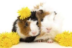 2 молодых морской свинки и желтых цветки одуванчика Стоковые Фото