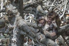 2 молодых обезьяны играя в мангрове Стоковые Изображения