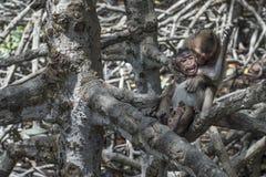 2 молодых обезьяны играя в мангрове Стоковое Изображение RF