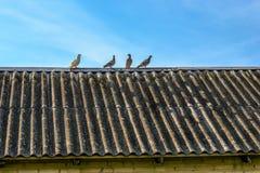 4 молодых птицы голубя на старой крыше дома на голубом небе в предпосылке Стоковое Изображение