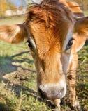 молокозавод коровы Стоковые Фото