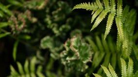 Молочай crested вечнозеленый завод пустыни культивируемый как ornamental в саде Предпосылка Succulents, естественная картина сток-видео