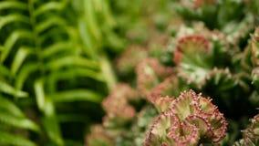 Молочай crested вечнозеленый завод пустыни культивируемый как ornamental в саде Предпосылка Succulents, естественная картина видеоматериал