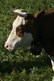 Молочная корова около грюйера, Швейцарии Стоковое Изображение