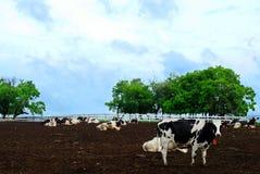 молочная ферма коровы Стоковое Фото