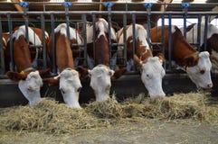 Молочные коровы в конюшнях, которые едят сено Стоковые Изображения
