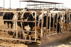 Молочные коровы Гольштейна в внешних подавая ручках в Техасе Стоковое фото RF