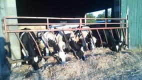 Молочные коровы есть солому в ряд стоковые изображения rf