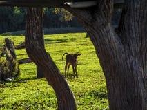 Молочные коровы на выгоне Стоковые Фото