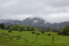 Молочные коровы пася в зеленом поле с горой предпосылку Стоковые Изображения RF
