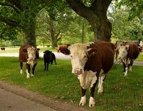 Молочные коровы пася в полях стоковые изображения rf
