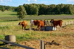 Молочные коровы породы Ayshire Острова Aland, Финляндия Стоковые Фотографии RF