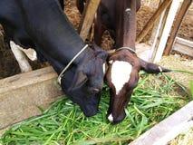 Молочные скоты еда грандиозная в ферме стоковая фотография