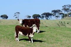 Молочные скоты стоковые изображения