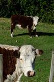 Молочные скоты стоковая фотография rf
