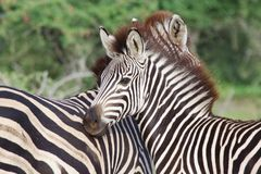 молодая зебра Стоковое фото RF