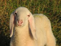 МОЛОДАЯ ОВЕЧКА с мягкими белыми шерстями на лужайке в горах Стоковые Фотографии RF