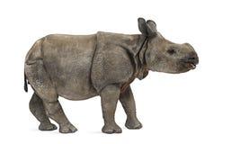 Молодой индийский одн-horned носорог (8 месяцев старых) Стоковая Фотография