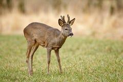 Молодой самец оленя козуль Стоковые Изображения