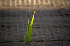 Молодой тростник Стоковое Фото