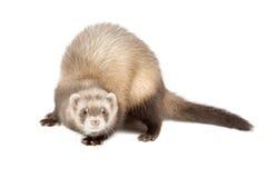 Молодой ferret Стоковое фото RF