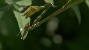 Моля зеленый Mantis видеоматериал