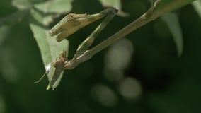 Моля зеленый Mantis акции видеоматериалы