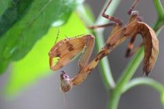 Моля филиппинский Mantis стоковые изображения rf