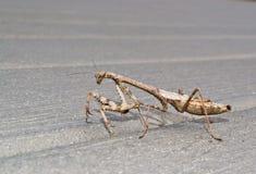 Моля Mantis Стоковое фото RF