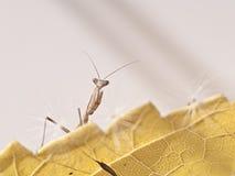 Моля mantis Стоковые Изображения