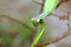 Моля mantis Стоковая Фотография RF