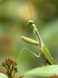 Моля Mantis Стоковое Изображение