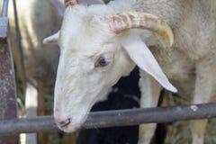 Момент белых овец в укрытии Стоковые Фото