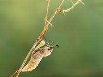 Момент крупного плана изумительный о machaon Papilio бабочки вытекая от chrysalis на хворостине на зеленой предпосылке Стоковое Фото