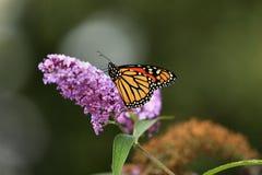 монарх бабочки Стоковые Изображения RF