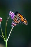 монарх бабочки стоковое изображение