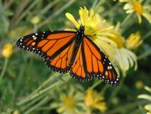 монарх бабочки Стоковая Фотография RF