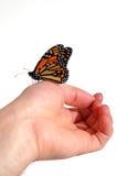 монарх бабочки Стоковые Изображения