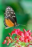 монарх бабочки стоковые фотографии rf