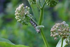 монарх бабочки catepillar Стоковое Изображение RF