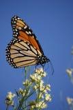 Монарх в октябре стоковая фотография rf