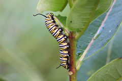 монарх гусеницы бабочки Стоковое Фото