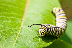 монарх гусеницы бабочки Стоковое Изображение