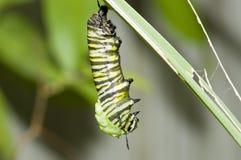 монарх гусеницы вися Стоковые Изображения