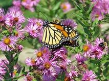 Монарх и пчела парка Торонто высокие на одичалой астре 2017 стоковое изображение