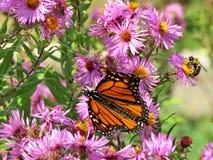 Монарх и пчела парка Торонто высокие на одичалой астре 2017 стоковые фото