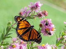 Монарх и пчелы парка Торонто высокие на одичалой астре 2017 стоковые изображения rf