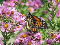Монарх и пчелы парка Торонто высокие на одичалых астрах 2017 стоковая фотография rf